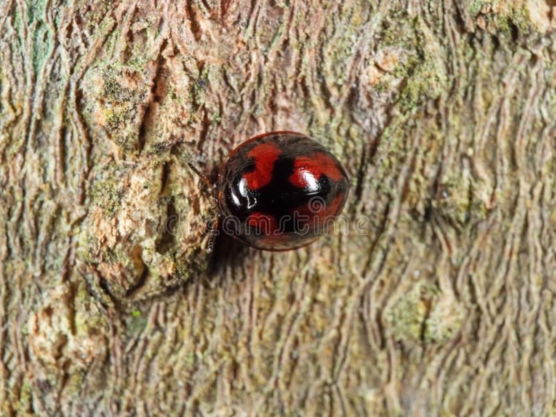 Macro Photo of Red and Black Beetle on Tree Bark stock image