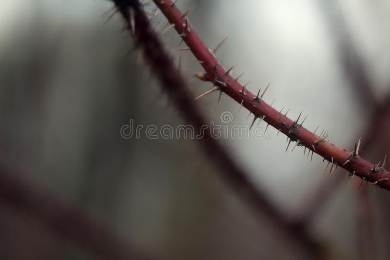 Macro photo of a red branch with spikes on the edge. on the background of a blurred forest and branches stock photo