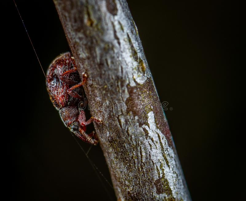 Macro Photo of Red Tree Hopper on Brown Wooden Stem stock photography