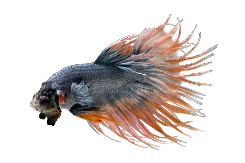 Macro photo of Siamese fighting fish crown tails fighting fishs, betta splendens isolated on white background. stock images