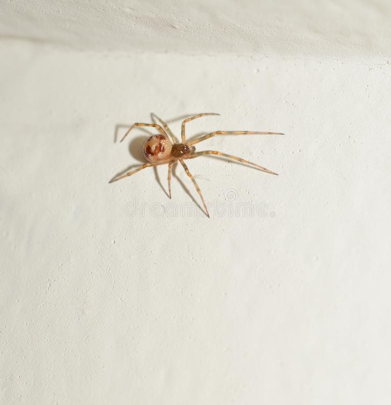 Macro photo of a small brown sac spider royalty free stock image