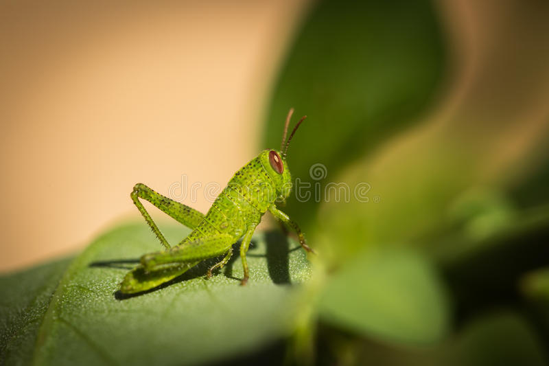 Macro photo of small green grasshopper on a leaf stock photography