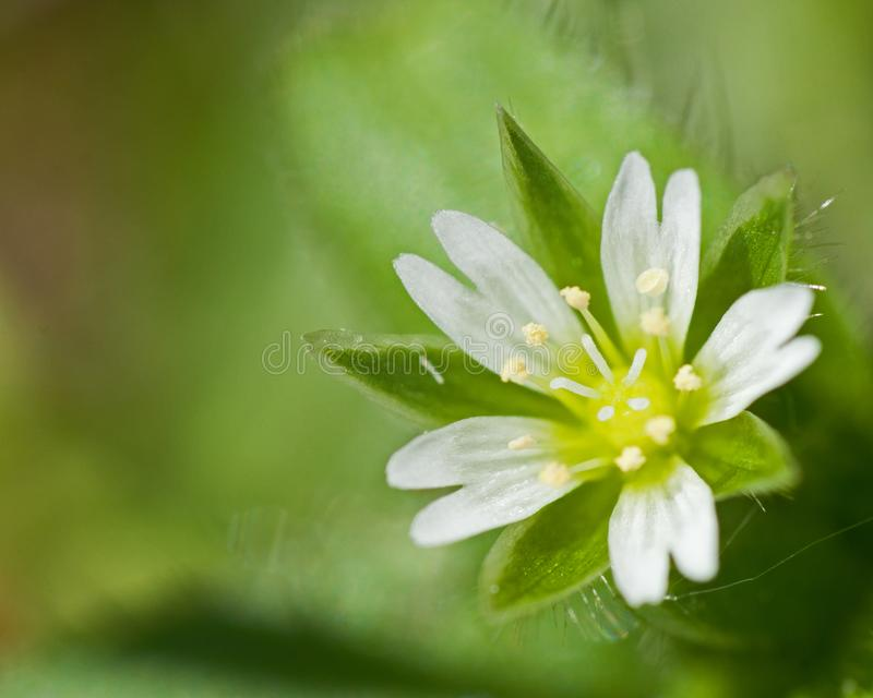 Macro photo of small white flower royalty free stock images