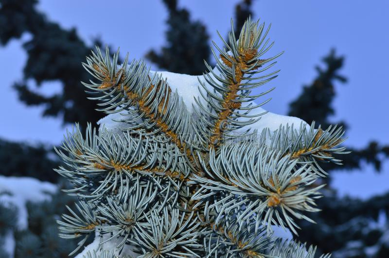 Macro photo of a snow covered fir branch royalty free stock photography