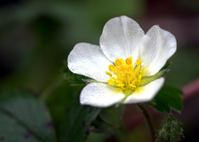 Beach Flower. Macro photo of a tiny white flower seen along the beach walk in Seaside, Oregon. Selective focus stock photography