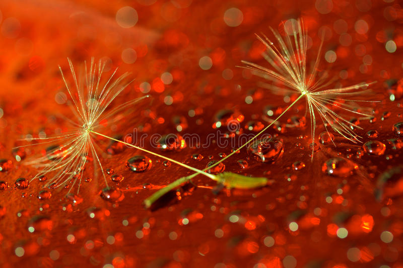 Macro photo of two dandelion seeds on a red background royalty free stock photography