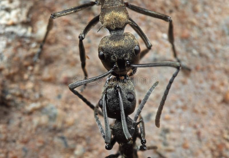 Macro Photo of Two Golden Weaver Ants on The Ground stock image