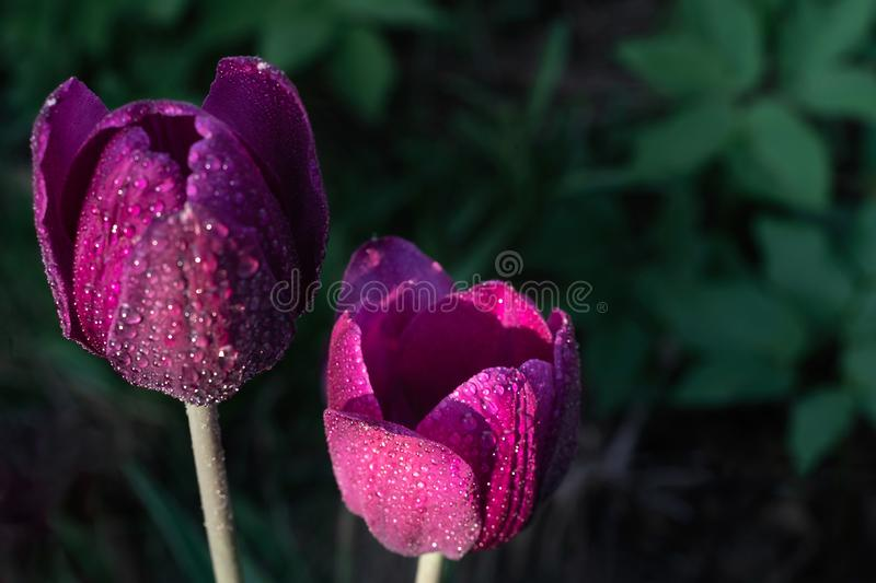 Macro photo of two purple tulips on green blurred background royalty free stock photography
