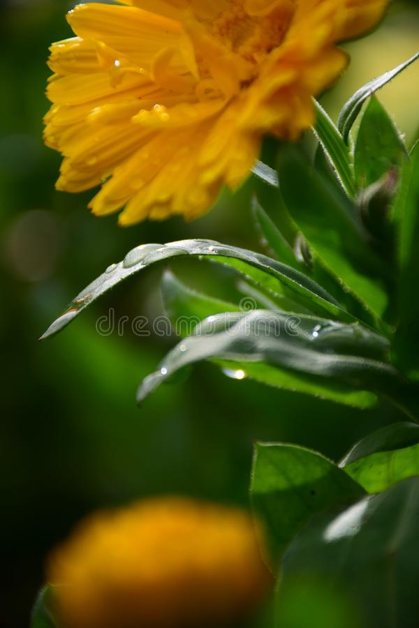 Macro Photo of Water Drops on Green Leaves of Calendula Flowers by Maria Rutkovska royalty free stock images