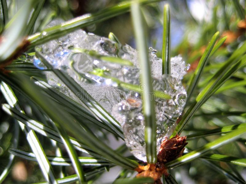 Download Macro Photo With A Winter Texture Background Snow Icicles On The Spruce Needles Of The Natural Tree Branches Stock Image - Image of shades, spruce: 83712335