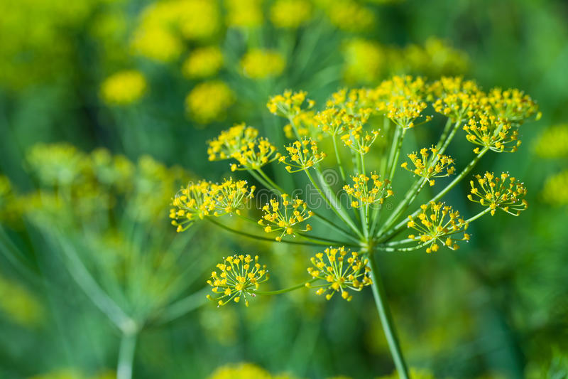 Macro photo of yellow dill flowers royalty free stock images