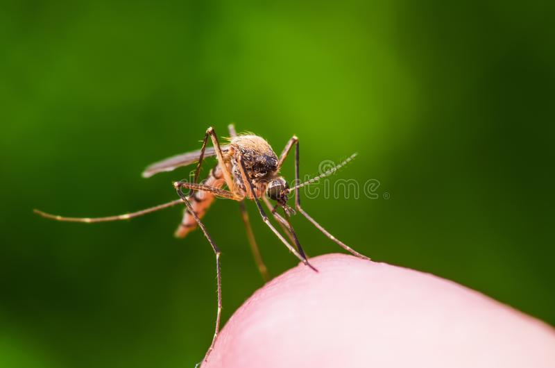 Yellow Fever, Malaria or Zika Virus Infected Mosquito Insect Macro on Green Background. Macro Photo of Yellow Fever, Malaria or Zika Virus Infected Mosquito stock images