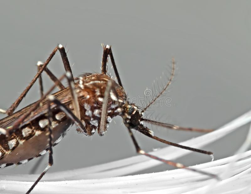 Macro Photo of Yellow Fever Mosquito Isolated on Gray Background, Selective Focus stock photography