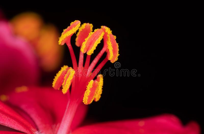 Macro Photo of Yellow Pollen of Pink Flower Isolated on Black Background, Selective Focus. Macro Photography of Yellow Pollen of Pink Flower Isolated on Black royalty free stock image