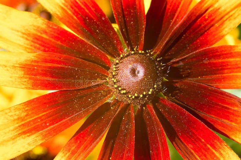 Macro photo of yellow-red echinacea flower stock image