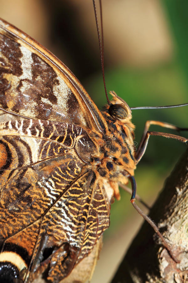 Macro Photograph Of A Butterfly Wing Royalty Free Stock Images