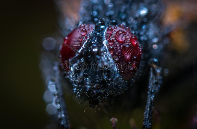Macro Photograph of an Insect With Water Dew royalty free stock image