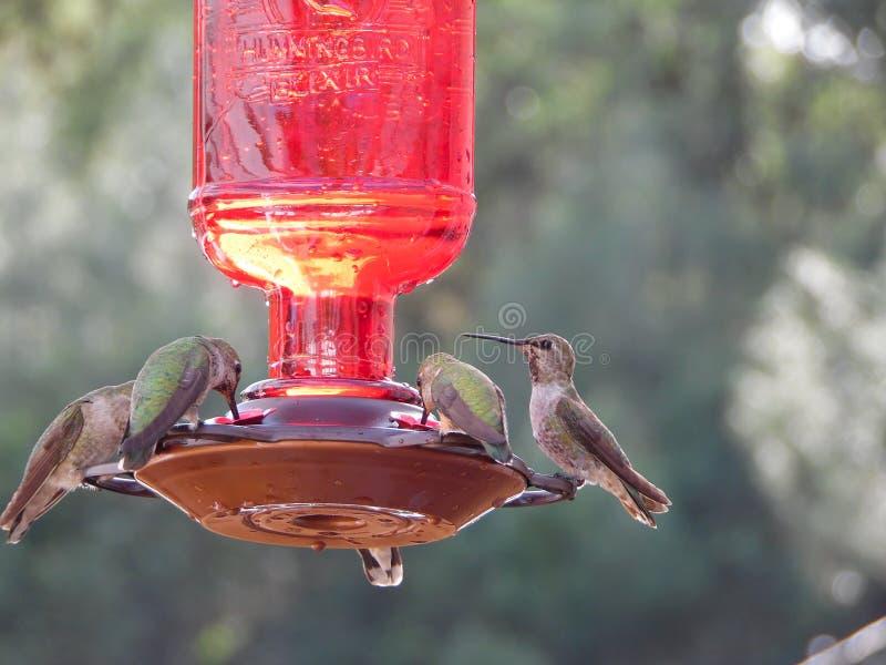 Macro Photograph of Several Hummingbirds stock images