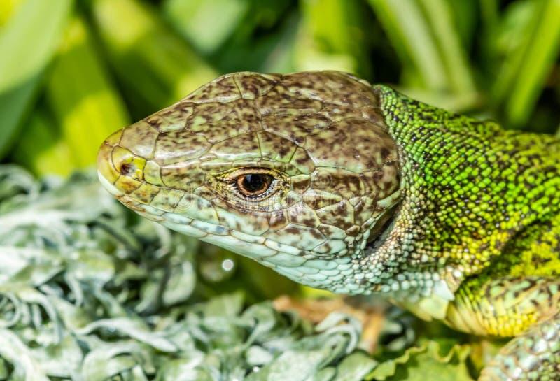 Macro photographie avec la tête d'un lézard vert photographie stock libre de droits