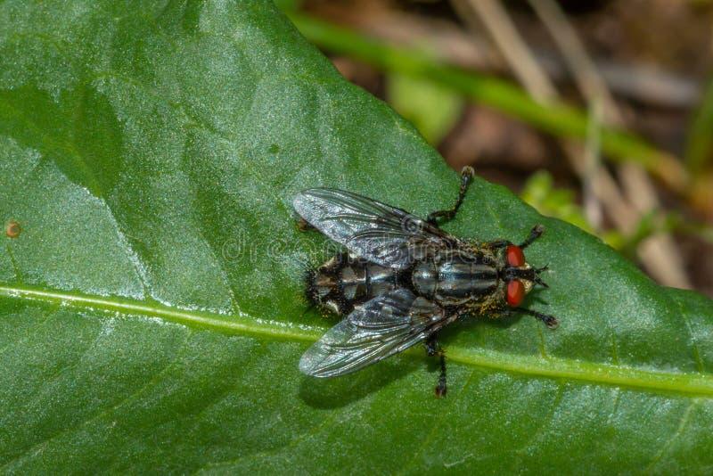 Macro photographie avec une mouche commune se reposant sur une feuille image stock