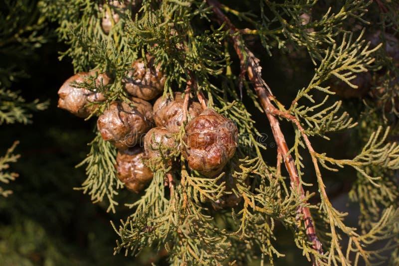 Macro photographie courante de la branche de l'arizonica de Cupressus Aiguilles de conifère Sapin, conifére photographie stock libre de droits