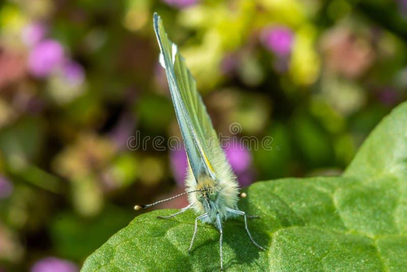 Macro photographie d'un papillon de brassicae de pieris se reposant sur une fleur images stock