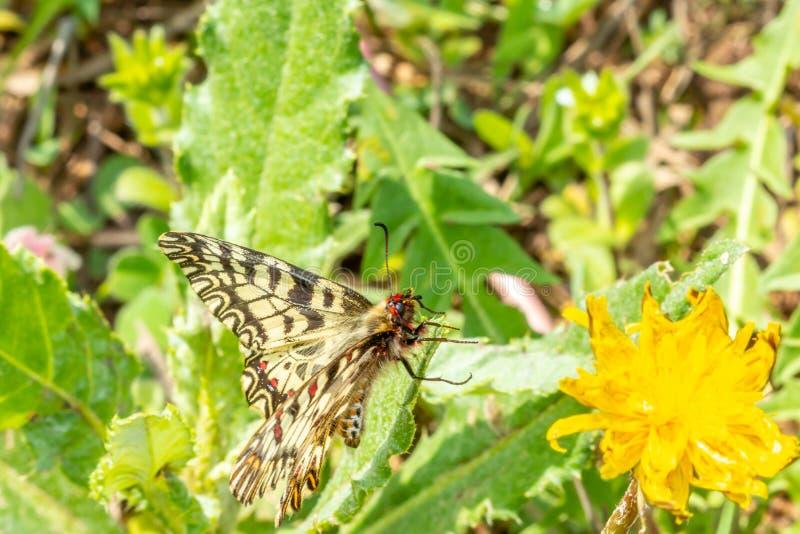 Macro photographie d'un papillon se reposant sur une fleur images libres de droits