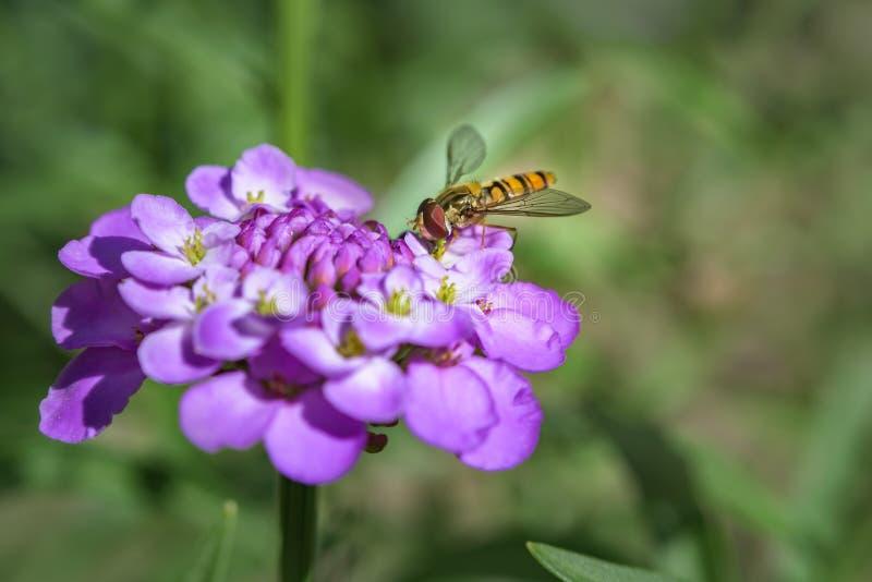 Macro photographie de Hoverfly sur la fleur pourpre photographie stock libre de droits