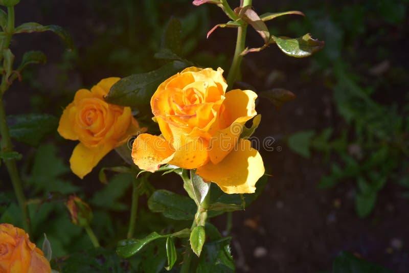 Macro photographie des fleurs : a monté le jaune après pluie photo libre de droits