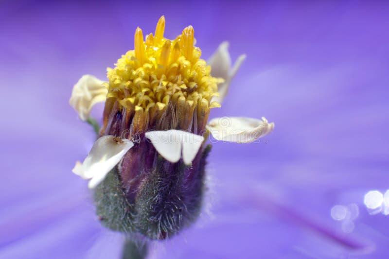Macro photographie : Fleur principale jaune avec les pétales blancs et la branche verte image stock