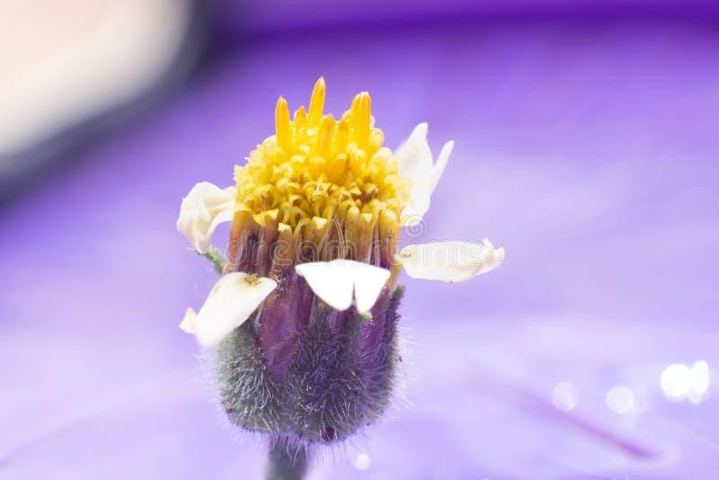 Macro photographie : Fleur principale jaune avec les pétales blancs et la branche verte photo libre de droits