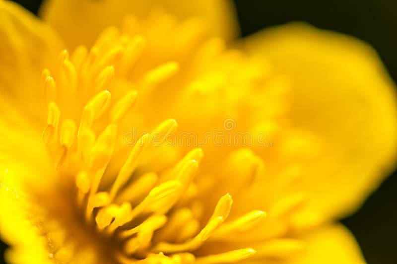 Macro photographie, pistils jaunes de renoncule sur le fond vert en nature, fond de fleur de ressort image libre de droits