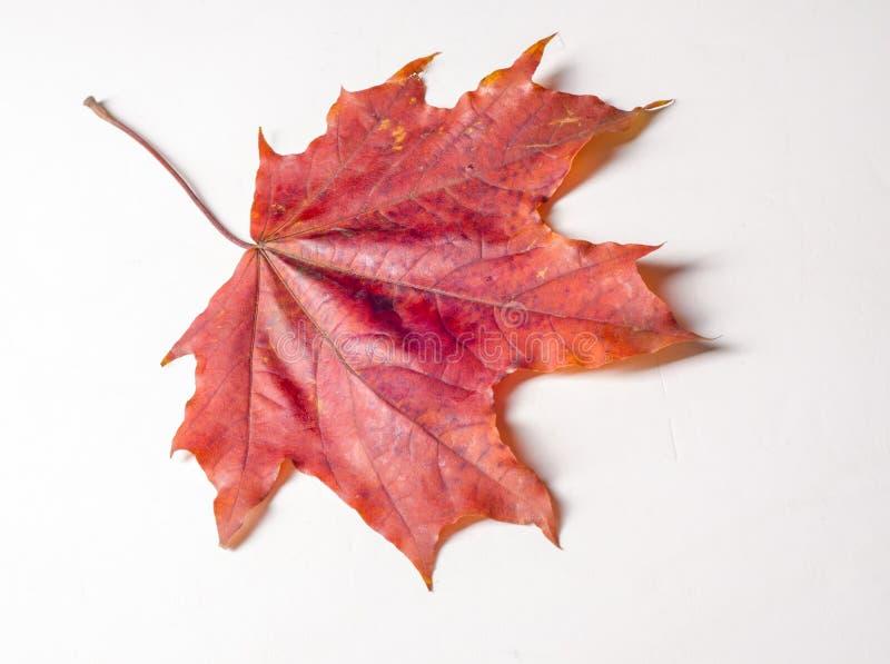 Macro photographie Plan rapproché blanc d'érable de lame d'automne photos libres de droits