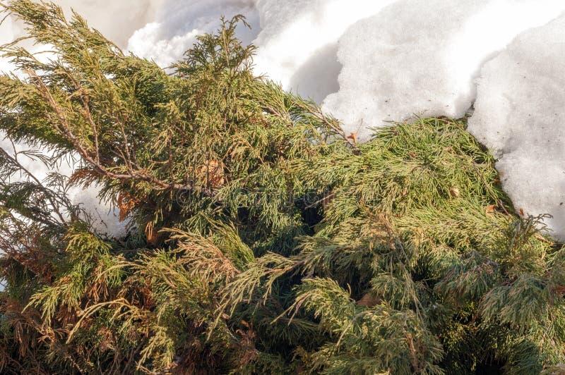 Macro photographie Plan rapproché Photographie de ressort Arbre de Thuja i image stock