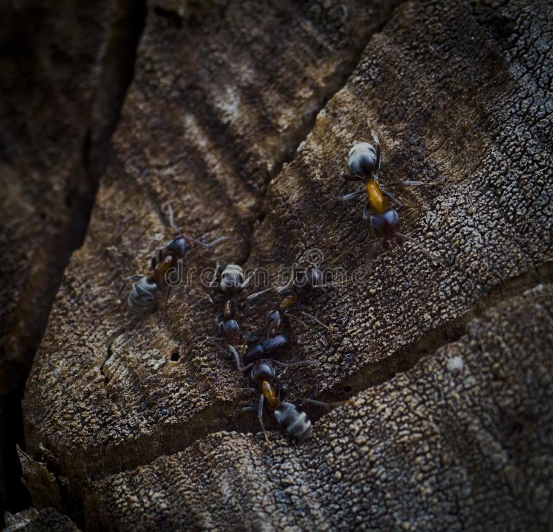 Ants Team Attack royalty free stock photos