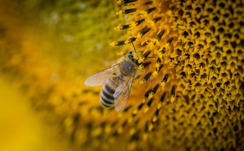 Macro Photography of a Bee royalty free stock photos
