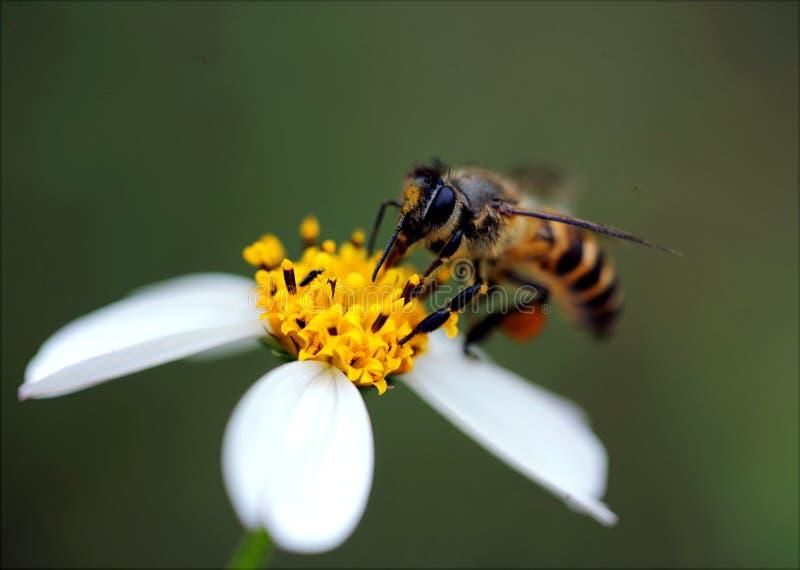 Macro Photography Of Bee royalty free stock photography