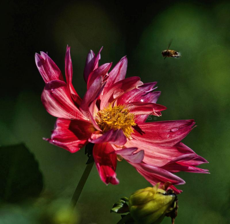 Macro Photography Of Bee Hovering On Pink Petaled Flower stock photography