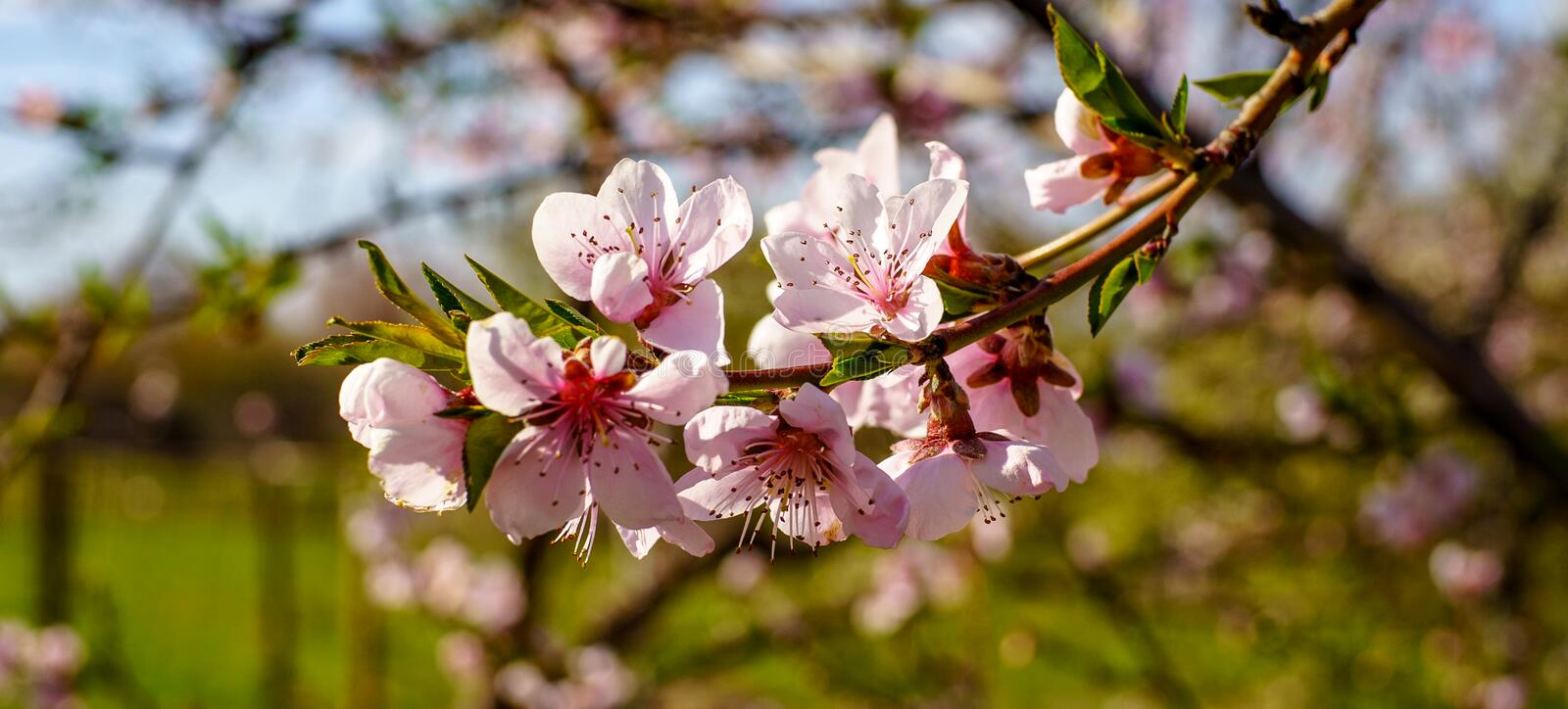 Macro photography of blossom peach branch with beautiful pink flowers and small young green leaves in the garden in spring royalty free stock images
