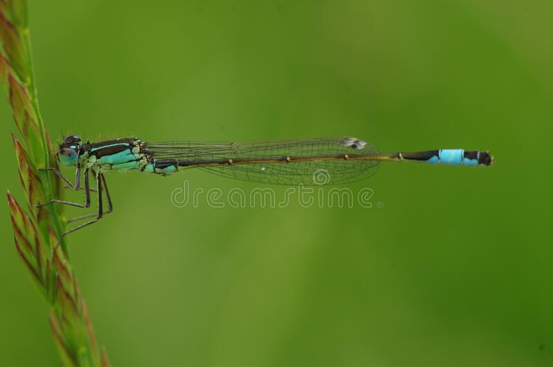 Macro Photography of Blue and Brown Dragonfly stock image