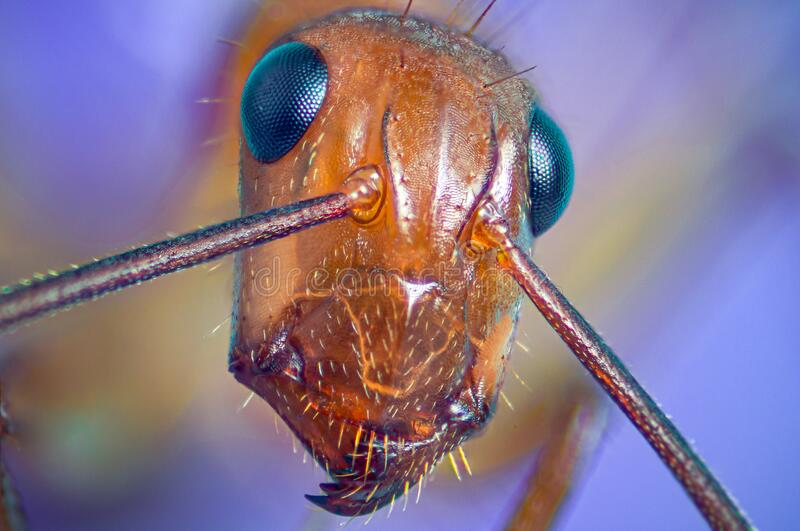Macro photography of a brown domestic ant, close up. Selective focus.  stock photo