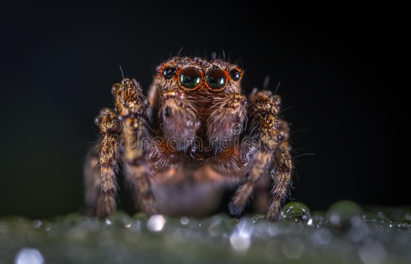 Macro Photography of Brown Jumping Spider stock image