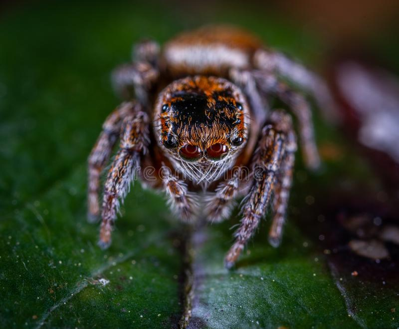 Macro Photography of Brown Jumping Spider Perched on Green Leaf stock photo