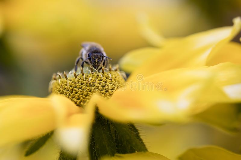 Macro photography of a busy bee collecting nectar from a yellow flower. A macro photography of a busy bee collecting nectar from a yellow flower royalty free stock photo