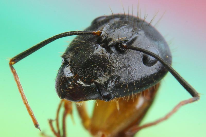 Ant close up eyes insect macro photography royalty free stock photography