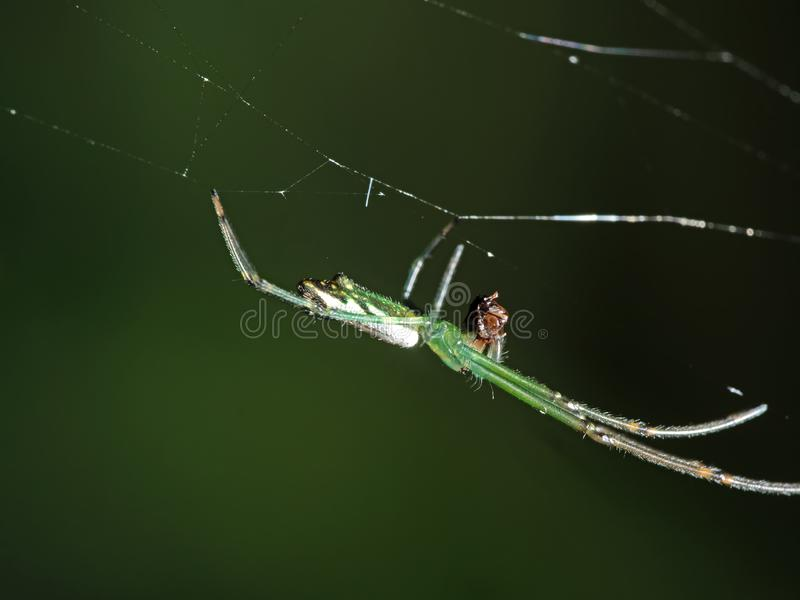 Macro Photo of Colorful Spider on Web with Prey Isolated on Blurry Background stock photography