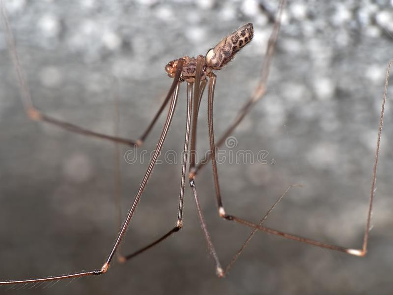 Macro Photo of Daddy Long-Legs Spider with Eggs on the Ceiling. Macro Photography of Daddy Long-Legs Spider with Eggs on the Ceiling royalty free stock image