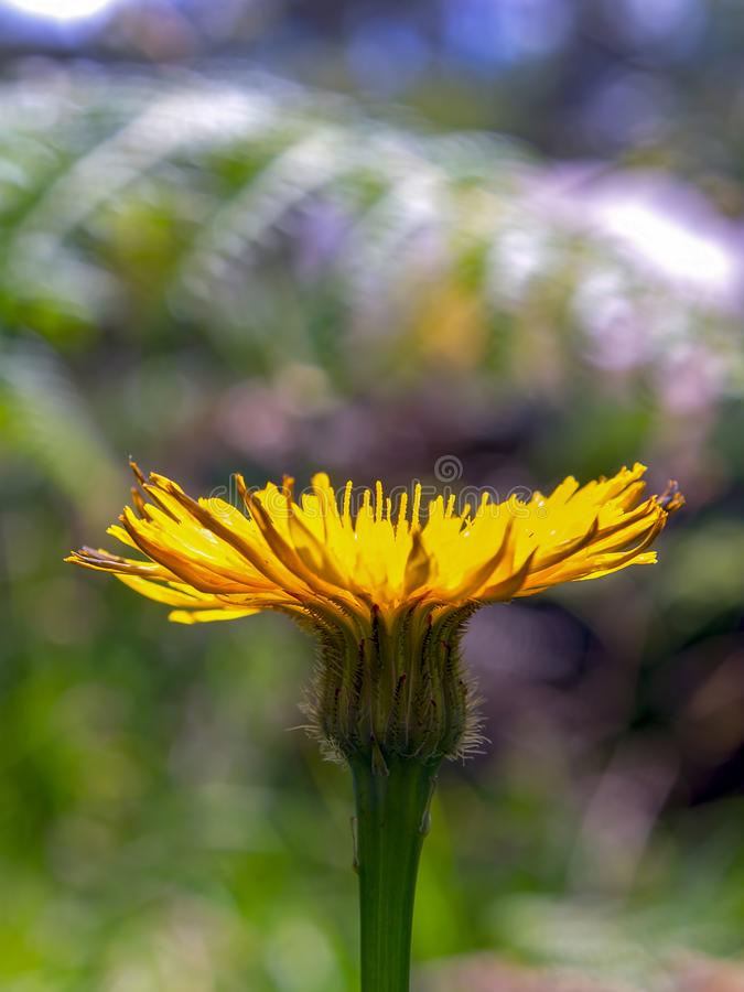 Dandelion flower from the side stock image