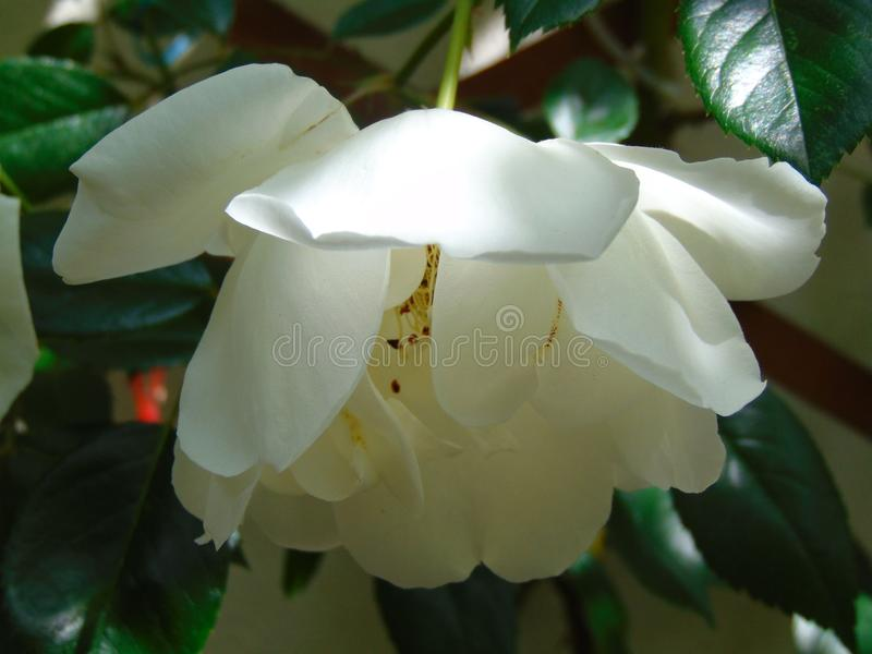 Macro photography with a decorative background of a beautiful flower with white petals of a climbing rose plant. For landscaping parks and home gardens as a royalty free stock image