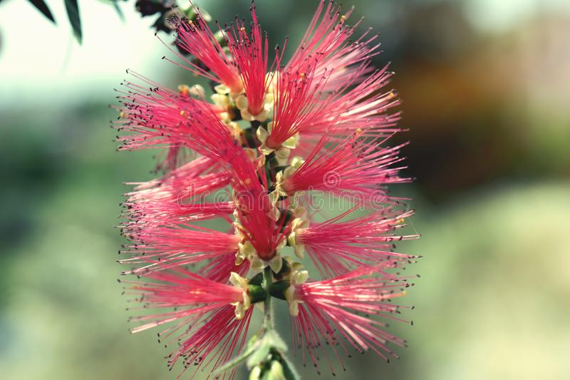 In macro photography is a Dwarf Bottlebrush Myrtaceae or Callistemon viminalis. Little John red blossom with a beautiful bokeh in the green background royalty free stock images
